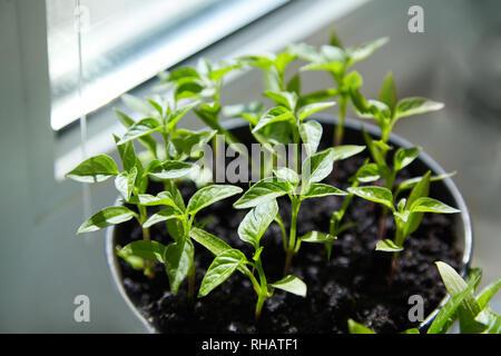 Des semis de poivrons. Les jeunes plantes vertes farcis aux feuilles poussent à partir de graines dans la masse dans des boîtes sur rebord de la piscine. Le vert des plants de poivrons en pot Banque D'Images