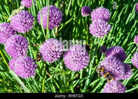 Le cerf de bourdons recueillir le nectar des fleurs violet vif, ciboulette Allium schoenoprasum, au début de l'été soleil. Banque D'Images