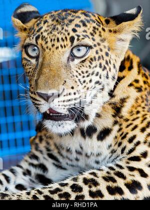 Un cub dans la garde d'un zoo à Kanchanaburi, Thaïlande. Elle est présentée par ses propriétaires aux touristes; un moyen de collecter des dons
