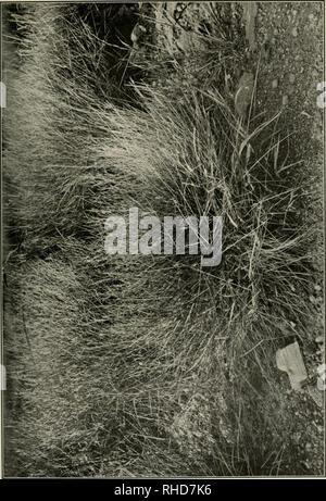. Le livre d'herbes; un guide illustré de la politique commune de l'herbe, et la plus commune des joncs et carex. . Veuillez noter que ces images sont extraites de la page numérisée des images qui peuvent avoir été retouchées numériquement pour plus de lisibilité - coloration et l'aspect de ces illustrations ne peut pas parfaitement ressembler à l'œuvre originale.. Baker, Mary Francis, 1876-1941. Garden City, N. Y., Doubleday, Page Banque D'Images