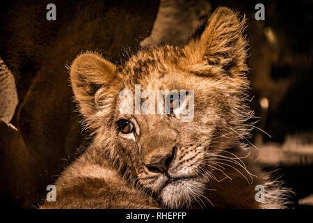 Une photo d'un bébé curieux lion cub qui pose pour un grand portrait