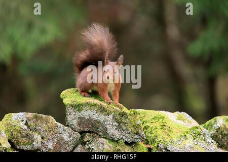 L'écureuil roux, Sciurus vulgaris, alerte à la