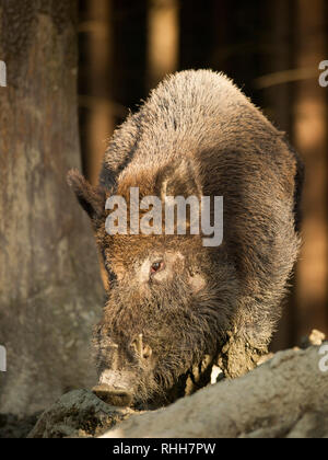 Sus scrofa scrofa - sanglier d'Europe Centrale in forest