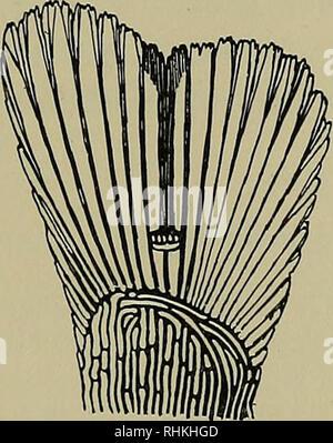 . Le bulletin biologique. Biologie; zoologie; biologie marine. L'ACTION DE L'ERGOTAMINE SUR LA CHROMATO- PHORES DU POISSON-chat (Ameiurus nebulosus) Z. M. FRANCOIS THIERRY1 {du laboratoire de biologie marine de Woods Hole, Massachusetts) C'est un fait bien connu que l'ergotamine paralyse l'action de l'adrénaline et les effets de la stimulation du système sympathique. Mais l'ergotamine a également une action sur les cellules dénervés, et cette action, aussi loin qu'il a fait l'objet d'une enquête, est le même que celui de l'adrénaline. Ainsi, l'ergotamine, dans le chat, augmente le taux du cœur dénervé (Cannon et Francois Thierry, 1931), les contrats