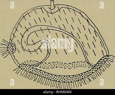 . Le bulletin biologique. Biologie; zoologie; biologie marine. Détermination EN CEREBRATULUS 321 embryons ont été colorées, la partie supérieure, la plupart des espèces animales de l'ensemble de la bande (avec une exception probable, voir ci-dessous) contiennent des granules de bleu, et lorsque les cellules végétatives avait été souillé, la couleur était limitée plus ou moins à la partie inférieure, la partie végétative de la bande. Il est très difficile de tracer la limite de la zone tachée avec certitude dans Cerehratulus, mais je pense qu'il est évident que la bande cilié est composé de deux documents de l'animal et les cellules végétatives. Il a été observé dans plusieurs cas