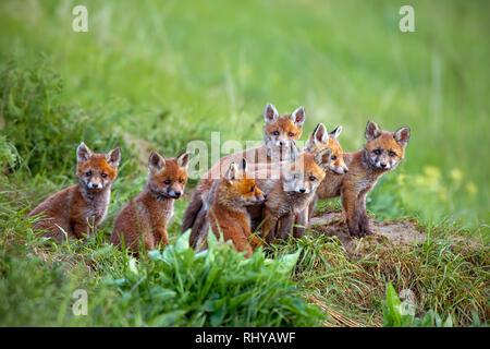 Le renard roux, Vulpes vulpes, oursons assis par le den. Banque D'Images