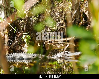 Aligator dans l'eau avec Bush Banque D'Images