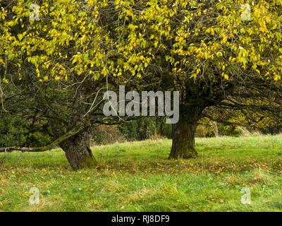Deutschland, Bayern, Naturpark Bayrische Rhön, UNESCO-Biosphärenreservat, Naturschutzgebiet Lange Rhön, Salweiden im Herbstlaub