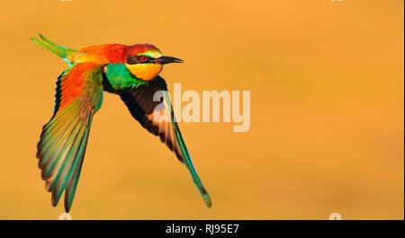 Oiseau du Paradis en vol sur un fond jaune Banque D'Images