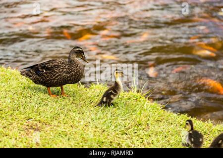 Maman canard aux canetons dans Hoomaluhia Botanical Garden, Oahu, Hawaii. Banque D'Images