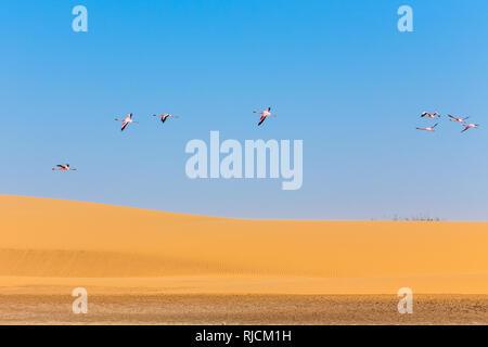 Battant des flamants roses sur la dune au désert du Kalahari, en Namibie Banque D'Images