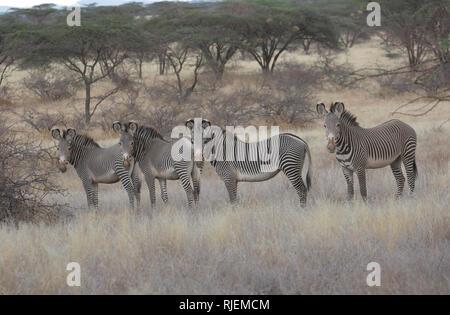 Le zèbre de Grevy, impérial ou Equus grevyi, dans des prairies semi-arides, Shaba National Reserve, Kenya Banque D'Images
