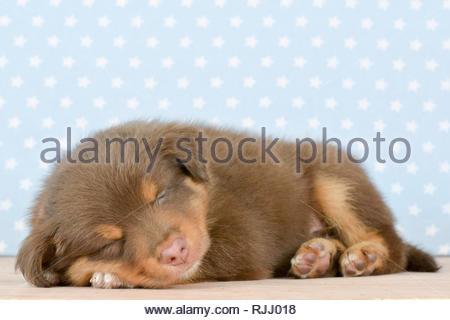 Berger Australien. Chiot dormir (8 semaines). Studio photo. Allemagne Banque D'Images