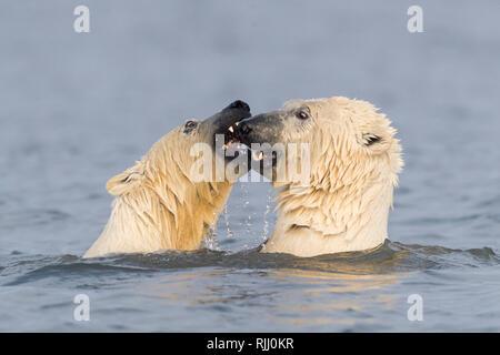 L'ours polaire (Ursus maritimus, Thalarctos maritimus). Deux individus playfighting en eau peu profonde. Banque D'Images