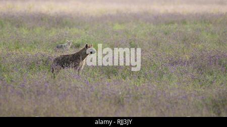 L'hyène tachetée, Crocuta crocuta, dans le cratère du Ngorongoro, l'aire de conservation de Ngorongoro, en Tanzanie. Derrière c'est un chacal à dos noir, Canis mesomelas. Banque D'Images