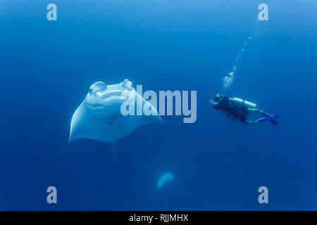 Tournage de plongée raie manta géante piscine autour de lui Banque D'Images