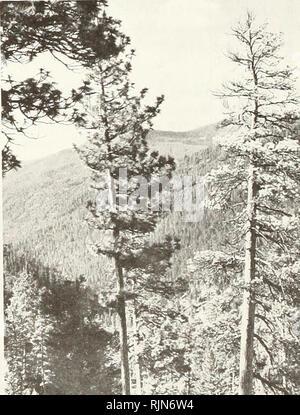 . Risque de scolytes dans les forêts de pin ponderosa dans l'ouest du Montana. L'écorce de pin ponderosa Montana; Maladies et ravageurs du Montana. Figure 6.-debout ou tombés des arbres de pins morts sont souvent la preuve indiscutable de la gravité de la mort de l'arbre par le dendroctone du pin dans l'ouest tout au long de ces dernières années beaucoup de vieilles forêts de pin ponderosa dans l'ouest du Montana. Perte d'merohantable les arbres de même des populations endémiques de la dendroctone du pin peut être un facteur de coût important dans les forêts de pin ponderosa gérés commercialement. Il peut être supérieur si ncnpine-espèces d'arbres tels que le Douglas taxifolié ^ montré ici-nous rapidement Banque D'Images