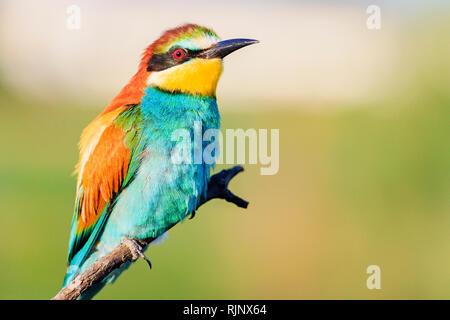 Oiseau du Paradis est assis sur une branche Banque D'Images