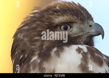 Fond bleu et jaune coloré accents close up portrait of a wild hawk. L'emplacement est Bosque del Apache National Wildlife Refuge au Nouveau Mexique. Banque D'Images