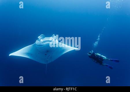 Gros plan du tournage de plongée raie manta géante piscine autour de lui Banque D'Images