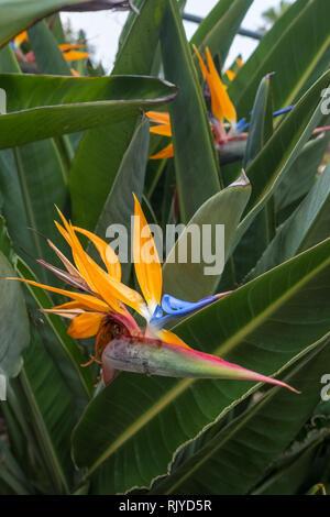 Strelitzia reginae ou oiseau de paradis flower close-up Banque D'Images