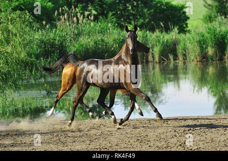 Deux chevaux voler au-dessus du sol s'exécutant dans le trot près de l'eau en été. À l'Horizontal, sur le côté, en mouvement.