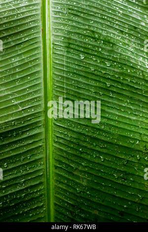 Chute de pluie sur une feuille de bananier vert arrière-plan. Nature vert des feuilles de banane. Clair de l'eau goutte d'eau. Texture background transparent la saison de pluie, frais, Banque D'Images