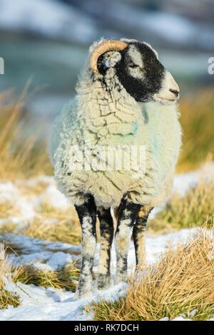 Brebis Swaledale, brebis, par temps de neige dans Wensleydale, England, UK. Hiver froid, scène. Swaledale moutons sont une race native de North Yorkshire Banque D'Images