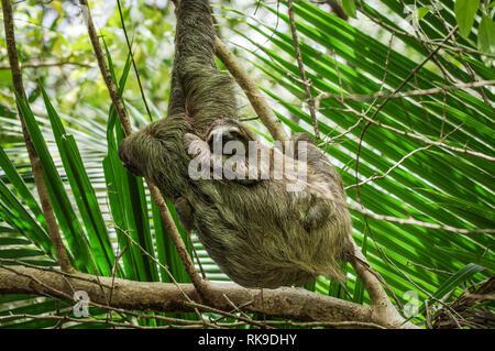 Brown-throated sloth traîner dans un arbre sur l'île de Cristobal dans l'archipel de Bocas del Toro, PANAMA Banque D'Images