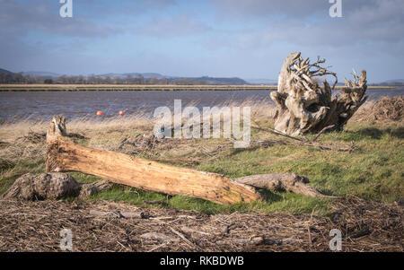 Les arbres vers le rivage par la marée haute et d'inondation sur le Solway Firth près du village de Glencaple, Dumfries et Galloway, en Écosse.