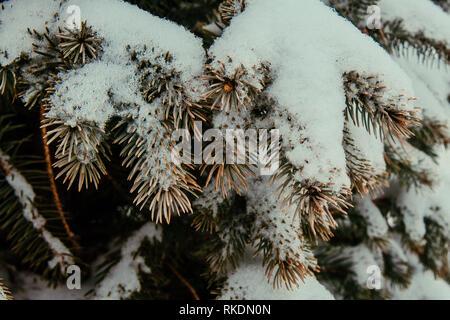 Sapin bleu blanc de la neige et de pin Banque D'Images