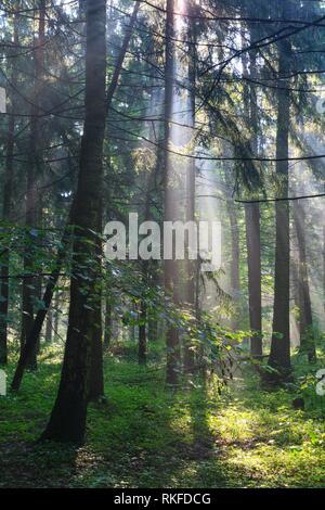Sunbeam entrant dans la forêt de feuillus riches en matin brumeux après la pluie, la forêt de Bialowieza, Pologne, l'Europe. Banque D'Images