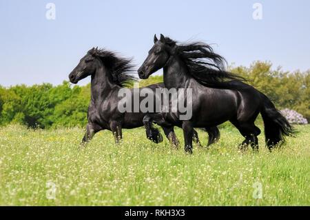 Deux chevaux frisons, manteau noir, couleur fonctionnant avec la crinière ondulant puissamment dans une prairie d'herbe verte floraison au printemps, Allemagne
