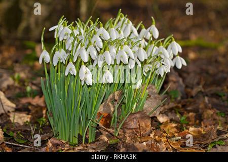 Les fleurs blanches, les perce-neige au printemps en fleurs commun Banque D'Images