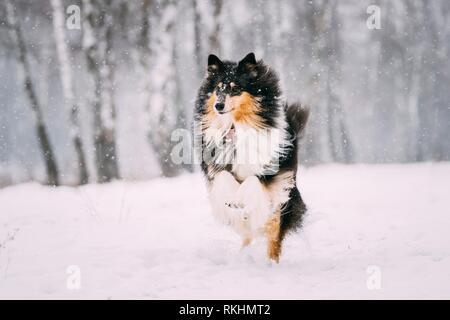 Funny Jeunes Shetland Sheepdog, Sheltie, Collie jouer dehors dans la neige, hiver. Animal ludique à l'extérieur.
