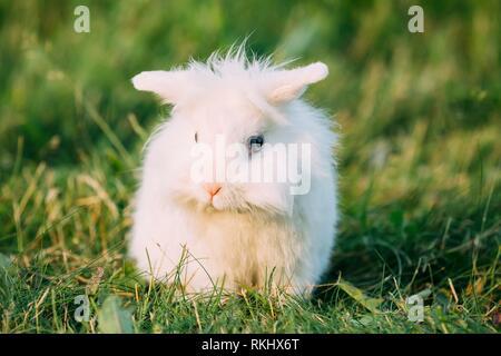 Mignon Lop-Eared Nain Miniature décorative Lapin Bunny Blanc moelleux aux yeux bleus assis dans l'herbe vert vif dans le jardin.