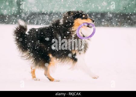 Funny Jeunes Shetland Sheepdog Sheltie, Collie, jouant avec une bague dans la neige, hiver. Animal ludique à l'extérieur.