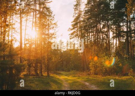 Soleil qui brille plus de Forest Lane, route de campagne, le chemin de ronde à travers forêt de pins. Coucher du soleil lever du soleil en été, les arbres des forêts. Banque D'Images