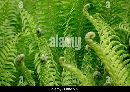 Close up of green ferns déployant. Banque D'Images