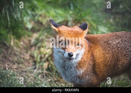 Le renard roux (Vulpes vulpes) est le plus grand des vrais renards. Ce renard a été vu à la British Wildlife Centre, Surrey, Angleterre. Banque D'Images
