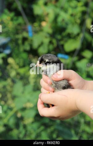 Le poulet dans les mains des enfants. Nouvelle vie. Petit oiseau. Peu de poulet de ferme avicole. Baby chicken in poultry farm. Les jeunes du poulet à la main humaine. Banque D'Images