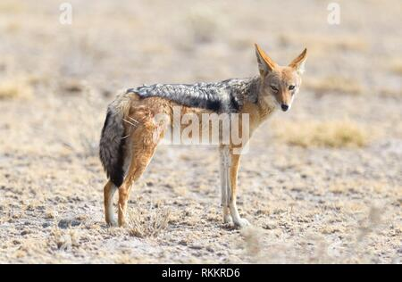 Chacal noir soutenu (Canis mesomelas) marcher dans le désert du Kalahari, au Botswana. Banque D'Images
