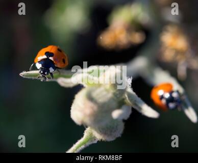 7-spot coccinelle (Coccinella septempunctata). L'Espagne. Banque D'Images