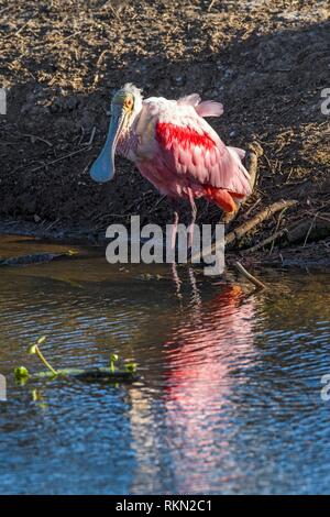 Roseate spoonbill (Platalea ajaja) au bord d'un étang, Smith Oaks Audubon Rookery, île haute, Texas, USA. Banque D'Images