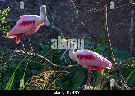 Roseate spoonbill (Platalea ajaja) le comportement de cour au début du printemps, Smith Oaks Audubon Rookery, île haute, Texas, USA. Banque D'Images