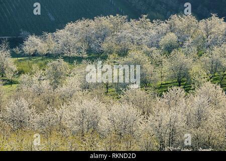 Vue aérienne de cerisiers en fleurs, vergers, printemps. Baden Württemberg, Baden Wuerttemberg, Schwarzwald, Allemagne.