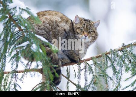 Chat Sauvage Européen, forêt wildcat (Felis silvestris silvestris), sur l'arbre en hiver, de l'Allemagne. Banque D'Images