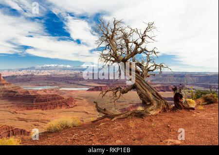 Dead tree juniper à Dead Horse Point State Park, Utah, USA. La Sal Mountains en arrière-plan.