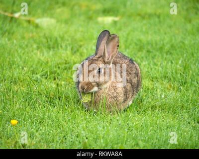 Libre d'un jeune lapin Européen (Oryctolagus cuniculus) court sur l'herbe verte pelouse, Ecosse, Royaume-Uni Banque D'Images