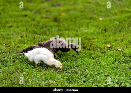 Libre de trois bébé canard oiseau oie oisons canetons poussins sur gazon herbe plantes adorable mignon yeux palmes Banque D'Images